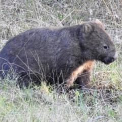 Vombatus ursinus (Common Wombat, Bare-nosed Wombat) at Stromlo, ACT - 11 Sep 2021 by HelenCross