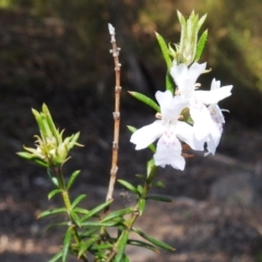 Westringia eremicola (Slender Western Rosemary) at Stromlo, ACT - 11 Sep 2021 by HelenCross