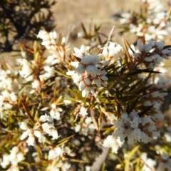 Lissanthe strigosa subsp. subulata (Peach Heath) at Stromlo, ACT - 11 Sep 2021 by HelenCross