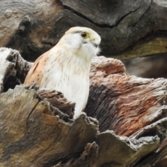 Falco cenchroides (Nankeen Kestrel) at Tuggeranong DC, ACT - 12 Sep 2021 by HelenCross