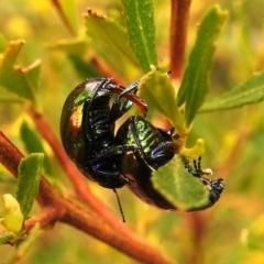 Callidemum hypochalceum (Hop-bush leaf beetle) at Tuggeranong DC, ACT - 12 Sep 2021 by HelenCross