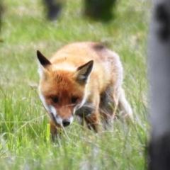 Vulpes vulpes (Red Fox) at Tuggeranong DC, ACT - 12 Sep 2021 by HelenCross