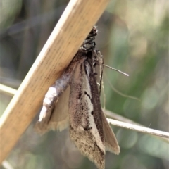 Philobota stella (A concealer moth) at Holt, ACT - 11 Sep 2021 by CathB