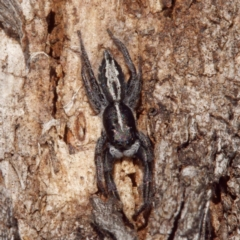 Ocrisiona leucocomis (White-flecked Crevice-dweller) at Throsby, ACT - 8 Sep 2021 by DPRees125