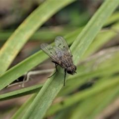 Helina sp. (genus) (Muscid fly) at Aranda, ACT - 9 Sep 2021 by CathB