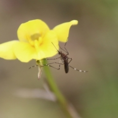 Aedes sp. (genus) (Mosquito) at Hughes, ACT - 12 Sep 2021 by LisaH