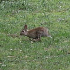 Oryctolagus cuniculus (European Rabbit) at Greenway, ACT - 12 Sep 2021 by RodDeb