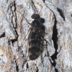 Sylvicola dubius (Wood-gnat) at Chapman, ACT - 6 Sep 2021 by Harrisi