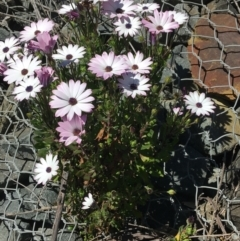 Dimorphotheca ecklonis (African Daisy) at Campbell, ACT - 11 Sep 2021 by Ned_Johnston