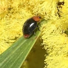 Cryptolaemus montrouzieri (Mealybug ladybird) at Campbell, ACT - 11 Sep 2021 by Ned_Johnston