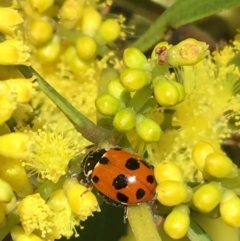 Hippodamia variegata (Spotted Amber Ladybird) at Campbell, ACT - 11 Sep 2021 by Ned_Johnston