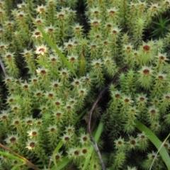 Bartramiaceae (TBC) at Acton, ACT - 11 Sep 2021 by pinnaCLE