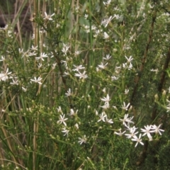 Olearia microphylla (Olearia) at Downer, ACT - 9 Sep 2021 by pinnaCLE