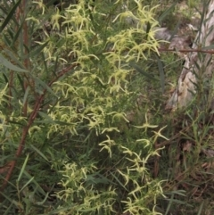 Clematis leptophylla (Small-leaf Clematis, Old Man's Beard) at Downer, ACT - 9 Sep 2021 by pinnaCLE