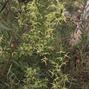 Clematis leptophylla at Downer, ACT - 9 Sep 2021