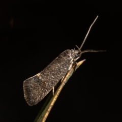 Leistomorpha brontoscopa (A concealer moth) at Macgregor, ACT - 13 Sep 2021 by Roger