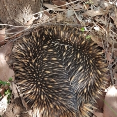 Tachyglossus aculeatus (TBC) at suppressed - 13 Sep 2021 by Aussiegall