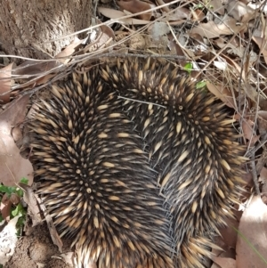 Tachyglossus aculeatus (TBC) at suppressed by Aussiegall