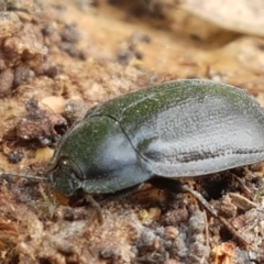 Unidentified Darkling beetle (Tenebrionidae) (TBC) at Holt, ACT - 13 Sep 2021 by tpreston