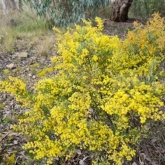 Unidentified Wattle (TBC) at Farrer, ACT - 13 Sep 2021 by Mike