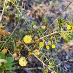 Acacia ulicifolia (Prickly Moses) at Farrer, ACT - 13 Sep 2021 by Mike