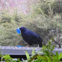 Ptilonorhynchus violaceus at Burradoo, NSW - 13 Sep 2021