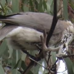 Philemon corniculatus (Noisy Friarbird) at Jerrabomberra, ACT - 13 Sep 2021 by RobParnell