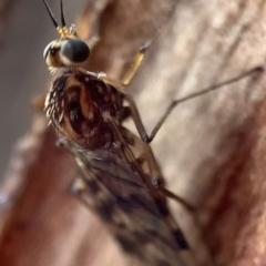 Sylvicola dubius (Wood-gnat) at Murrumbateman, NSW - 13 Sep 2021 by SimoneC