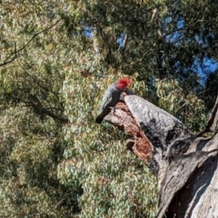 Callocephalon fimbriatum (Gang-gang Cockatoo) at Garran, ACT - 10 Sep 2021 by Arianne