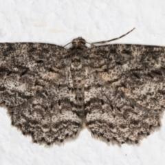 Ectropis fractaria (Ringed Bark Moth) at Melba, ACT - 6 Sep 2021 by kasiaaus