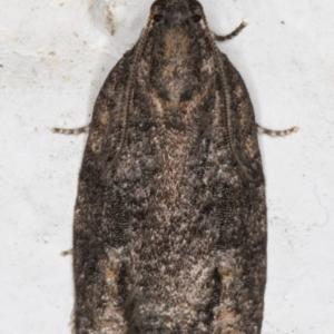 Thrincophora inconcisana at Melba, ACT - 7 Sep 2021