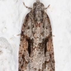 Acropolitis rudisana (Tortricinae) at Melba, ACT - 7 Sep 2021 by kasiaaus