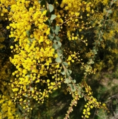 Acacia pravissima (Wedge-leaved Wattle) at Cook, ACT - 8 Sep 2021 by drakes