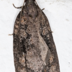 Acropolitis excelsa (A Tortricid moth) at Melba, ACT - 7 Sep 2021 by kasiaaus