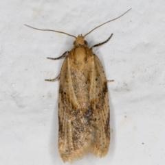 Merophyas divulsana (Lucerne Leafroller) at Melba, ACT - 8 Sep 2021 by kasiaaus
