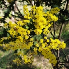 Acacia pravissima (Wedge-leaved Wattle) at Cook, ACT - 9 Sep 2021 by drakes