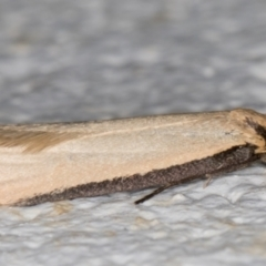 Philobota mathematica group undescribed species. at Melba, ACT - 9 Sep 2021