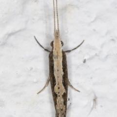 Plutella xylostella (Diamondback Moth) at Melba, ACT - 7 Sep 2021 by kasiaaus