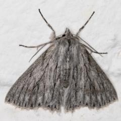 Cyneoterpna wilsoni (Cyneoterpna wilsoni) at Melba, ACT - 9 Sep 2021 by kasiaaus