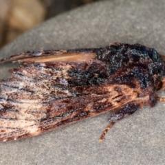 Sorama bicolor (Two-coloured Notodontid) at Melba, ACT - 9 Sep 2021 by kasiaaus