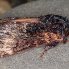 Sorama bicolor at Melba, ACT - 9 Sep 2021