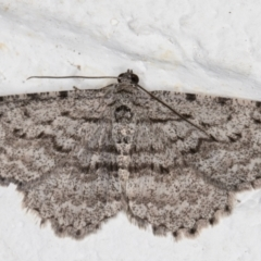 Psilosticha absorpta (Fine-waved Bark Moth) at Melba, ACT - 9 Sep 2021 by kasiaaus