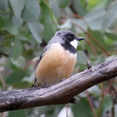 Pachycephala rufiventris (Rufous Whistler) at Downer, ACT - 12 Sep 2021 by jbromilow50