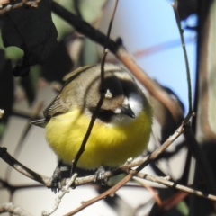 Gerygone olivacea (White-throated Gerygone) at Stromlo, ACT - 13 Sep 2021 by HelenCross