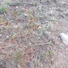 Dodonaea viscosa (Hop Bush) at Theodore, ACT - 10 Sep 2021 by jamesjonklaas