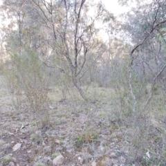 Dodonaea viscosa at Theodore, ACT - 10 Sep 2021