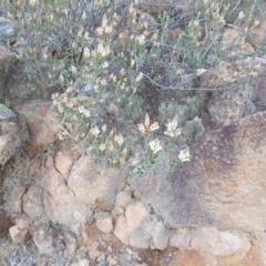 Brachyloma daphnoides (Daphne Heath) at Theodore, ACT - 10 Sep 2021 by jamesjonklaas