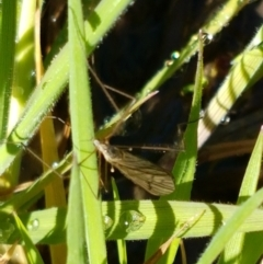 Unidentified Crane fly, midge, mosquito & gnat (several families) (TBC) at Holt, ACT - 14 Sep 2021 by tpreston