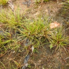 Schoenus apogon (Common Bog Sedge) at Carwoola, NSW - 9 Sep 2021 by Liam.m