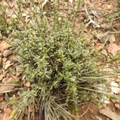 Unidentified Other Shrub (TBC) at Carwoola, NSW - 9 Sep 2021 by Liam.m